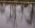 Ducks on 40 Acre Lake (6820420773).jpg