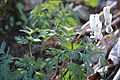 Dutchmans Breeches (7074114811).jpg