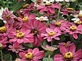 Dwarf Zinnia from Lalbagh flower show Aug 2013 8238.JPG