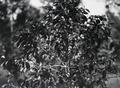 ETH-BIB-Afrikanische Pflanze mit Blüten-Kilimanjaroflug 1929-30-LBS MH02-07-0255.tif