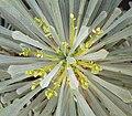 E multifolia ies.jpg