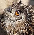 Eagle Owl 4 (5638431431).jpg