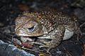 Eastern Giant Toad (Peltophryne peltocephala) (8575065260).jpg