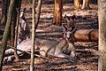 Eastern Gray Kangaroos (Macropus giganteus) (10001643935).jpg