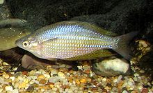 Eastern Rainbowfish 01.jpg