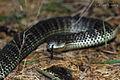Eastern Tiger Snake (Notechis scutatus) (8398219954).jpg