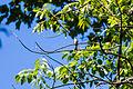 Eastern wood-pewee (21260161991).jpg
