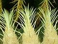 Echinocactus grusonii 2019-12-13 6520.jpg