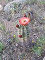 Echinocereus triglochidiatus in bloom in El Paso2.jpg