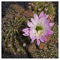 Echinopsis eyriesii (1).jpg