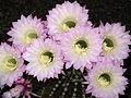 Echinopsis oxygona (3535885623).jpg