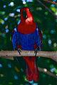 Eclectus Parrot (Eclectus roratus) female (9757168595).jpg