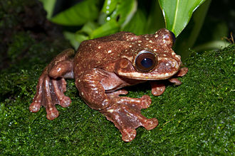 Toughie, the last Rabbs' fringe-limbed treefrog, died in September 2016. The species was killed off from the chytrid fungus Batrachochytrium dendrobatidis Ecnomiohyla rabborum.jpg