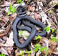 Edgar-evins-park-black-rat-snake-tn1.jpg