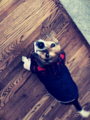 Edited photo of a beagle with sweater on floor.png