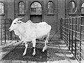 Een zeboe in Artis, Bestanddeelnr 189-0129.jpg
