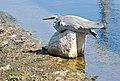 Egret at rest-3+ (304002481).jpg