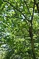 Ehretia dicksonii kz2.jpg