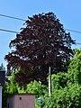 Eichgraben - Naturdenkmal PL-126 - Blutbuche (Fagus sylvatica Purpurea).jpg