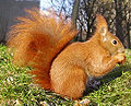 Eichhörnchen im Winter.jpg