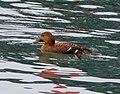 Eider Duck. Somateria mollissima - Flickr - gailhampshire.jpg