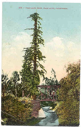 El Palo Alto - El Palo Alto, circa 1910. At the time the tree was in relatively poor health due to the soot from coal powered trains, as evident by its relatively thin canopy.