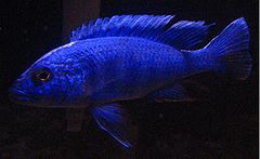 Electric blue hap.jpg