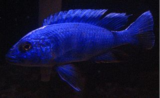 Electric blue hap species of fish