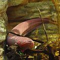 Electric eel Electrophorus electricus.jpg