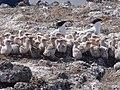 Elegant tern chicks huddle with parents (6589160969).jpg