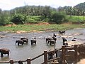 Elephant bath in pinnawala.jpg