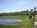 Elephant by a pond in Polachira.jpg