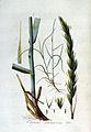 Elymus arenarius — Flora Batava — Volume v3.jpg