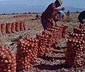 Embolsado de cebollas Argentina.jpg
