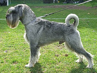 Standard Schnauzer - Standard Schnauzer with pepper-and-salt coat, natural ears and tail