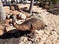 Emu running on the beach at Monkey Mia, July 2020 05.jpg