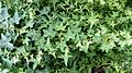 English Ivy (Hedera helix) 1.jpg