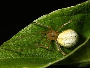 Theridiidae - Image: Enoplognatha ovata