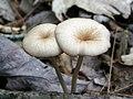 Entoloma subserrulatum (Peck) Hesler 440218.jpg