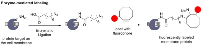 Enzyme-mediated labeling with azidooctanoic acid and SPAAC.tif