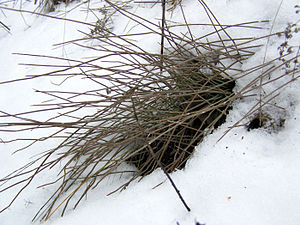 Ephedra distachya Russia winter.jpg