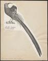 Epimachus maximus - 1809-1845 - Print - Iconographia Zoologica - Special Collections University of Amsterdam - UBA01 IZ16100075.tif
