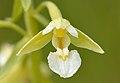 Epipactis palustris var. ochroleuca - Niitvälja3.jpg