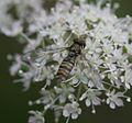 Episyrphus balteatus (Marmalade Fly) - female - Flickr - S. Rae.jpg