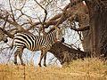 Equus quagga - plains zebra (2).jpg