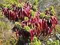 Erica coccinea ssp. coccinea.jpg