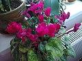 Ericales - Cyclamen persicum cultivars - 10.jpg