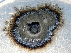 Ericoid mycorrhiza - Image: Ericoid mycorrhizal fungus
