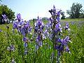 Eriskirch - Naturschutzgebiet in der Blütezeit der Blauen Iris.jpg
