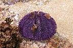 Erizo de mar violáceo (Sphaerechinus granularis), isla de Mouro, Santander, España, 2019-08-15, DD 39.jpg